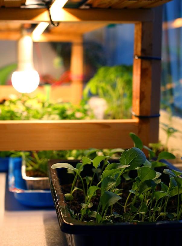 Pflanzen mit Wärmelampe am Fenster